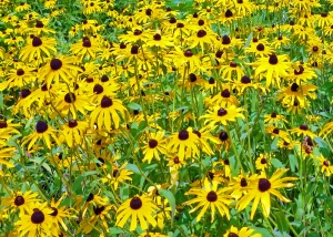 Black Eyed Susans along Route 8 in northern Wisconsin.