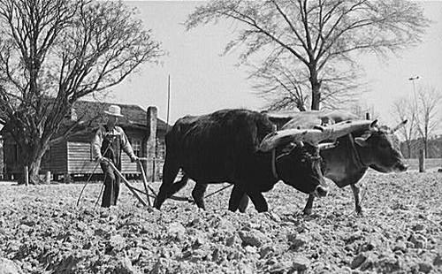 Yoke of oxen